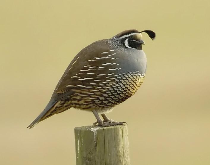 quails - photo #35