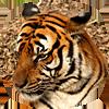 Tigris Amoyensis